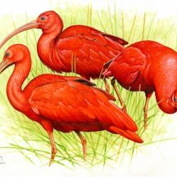 Jan Dungel - Ibis nachový, Los Llanos (Jan Dungel)