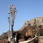 Bohdana Rambouskova - Wadi Azaqalo Adenium obesum