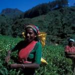 Tamil women picking tea leafs, Sri Lanka