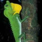 Hump Nosed Agama (Lyriocephalus scutatus)