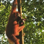 Jirka Hruška - male sundy - Orangutan sumaterský v NP Gunung Leuser