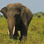 Jirka Hruška - male sundy - Slon sumaterský v NP Way Kambas
