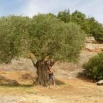 Chmelarova - Stoletý olivovník