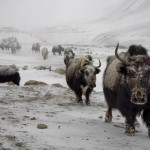 Jan_Tilinger_comming yaks