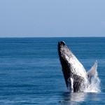 SIMONA JURANKOVA - Samana - velryby hrbate (keporkaci)