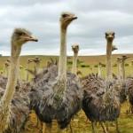 nature-bird-animal-travel-wildlife-bouquet-portrait-africa-ostrich-feather-fauna-birds-eyes-emu-neck-animals-head-vertebrate-bill-ratite-strauss-wildlife-photography-spring-dress-south-africa-flightless-bird-ost