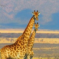 nature-prairie-adventure-animal-wildlife-wild-africa-mammal-fauna-savanna-plain-giraffe-grassland-tall-vertebrate-giraffes-safari-south-africa-giraffidae-956166