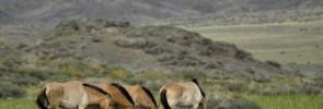 925614_130278_mongolsko_kone_zoo