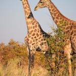 Marek Kovar - 3388 Národní park Chobe