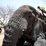 ARTHUR F. SNIEGON - Obojkovani GPS sloniho samce, Cad 2013