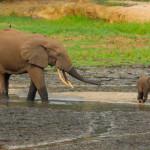 ARTHUR F. SNIEGON - Sloni samec a slune, Dzanga Bai, CAR